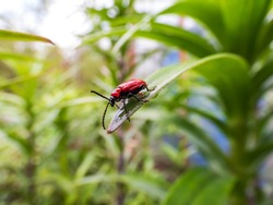 The single, adult scarlet lily beetle (Lilioceris lilii) sitting on a green lily plant leaf blade in garden. Its forewings are bright scarlet and shiny. Legs, eyes, antennae and head are black