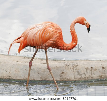 Stock Photo the single pink flamingo in zoo