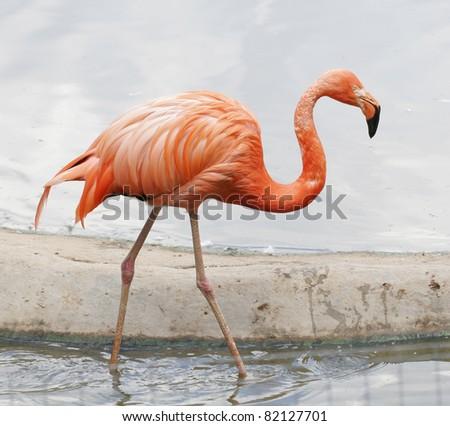 the single pink flamingo in zoo