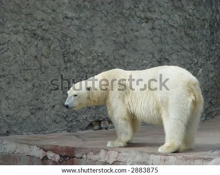 The single polar bear-female in the zoo