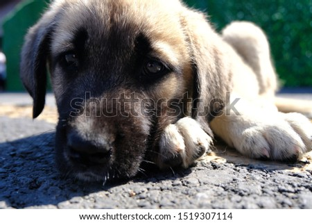 The Sivas Kangal Dog Turkey. Pedigreed, breed #1519307114
