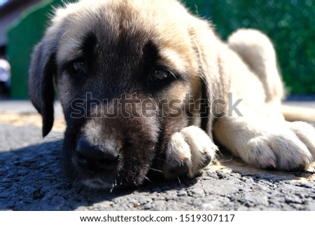 The Sivas Kangal Dog Turkey. Pedigreed, breed #1519307117