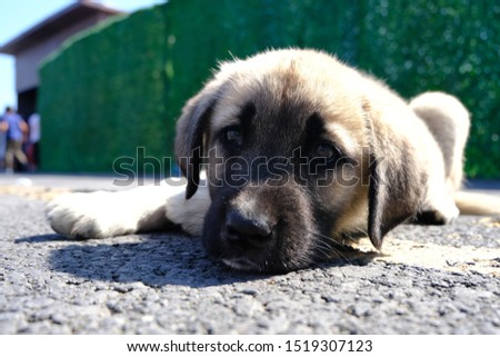 The Sivas Kangal Dog Turkey. Pedigreed, breed #1519307123