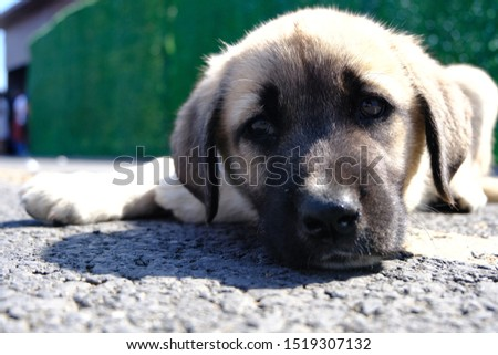 The Sivas Kangal Dog Turkey. Pedigreed, breed #1519307132
