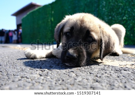 The Sivas Kangal Dog Turkey. Pedigreed, breed #1519307141
