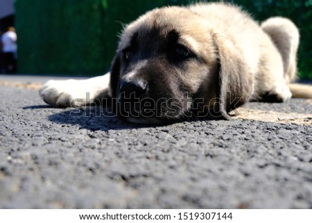 The Sivas Kangal Dog Turkey. Pedigreed, breed #1519307144
