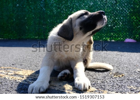 The Sivas Kangal Dog Turkey. Pedigreed, breed #1519307153