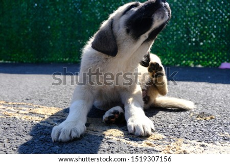 The Sivas Kangal Dog Turkey. Pedigreed, breed #1519307156