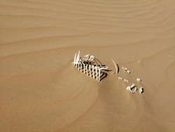 The skeleton of a camel calf lies partially buried in the Arabian desert with its bones picked clean by scavenging wild animals and bleached white by the hot desert sun.