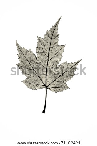 The skeleton of a maple leaf in profile.