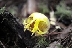 The skull as a symbol of death (memento mori). White animal skull with large eye sockets (orbital cavity) and predatory teeth (fang, tusk, canine tooth) in the environment