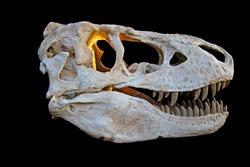 The skull from a prehistoric tyrannosaurus rex dinosaur