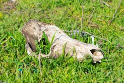 The skull of a cattle in the grass. The animal died leaving behind only bones. Skull.