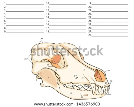 the skull of a dog  structure of the bones of the head, anatomical design