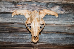 The skull of a wild animal on the wooden wall of the house, scary, monstrous and terrible.