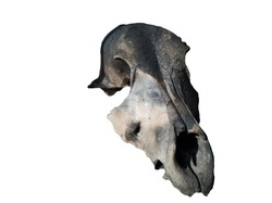The skull of an animal burnt during a forest fire.