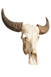 The skull of Bubalus arnee in Thailand.