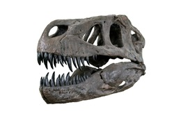 The skull of Torvosaurus large carnivore dinosaur from Jurassic Period - left half-profile isolated on whit background
