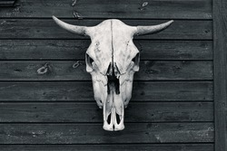 the skull with horns of a bull or cow
