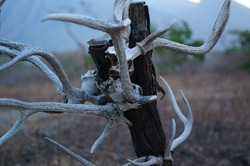 The skulls of deer animals hanging on trees are in the wilderness, traces of wild predators and natural predators.