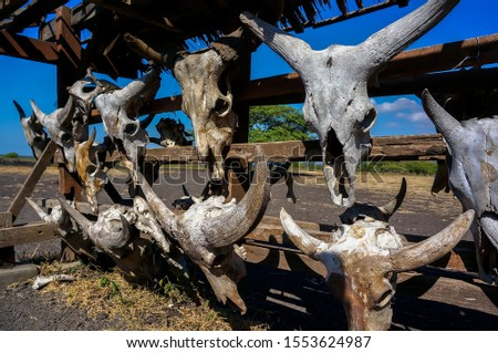 The skulls of deer animals hanging on trees are in the wilderness, traces of wild predators and natural predators. #1553624987