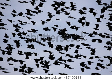 The sky filled with flying blackbirds.