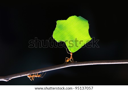 The small ants, carrying leaf in front of a black background.
