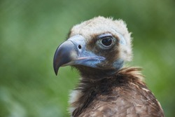 The small chick of cinereous vulture (Aegypius monachus) macro close up