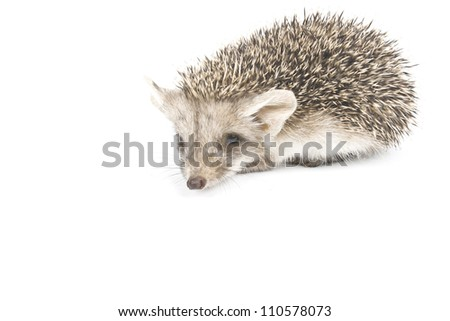 The small hedgehog isolated on a white background looks in a camera