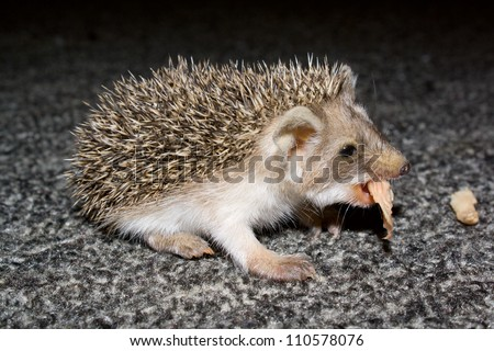 The small hedgehog on a carpet eats a meat slice