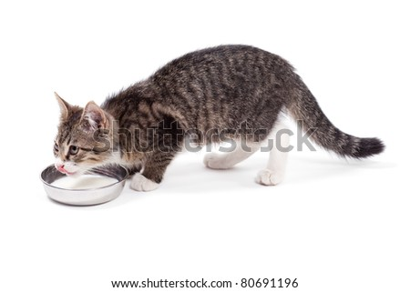 The small kitten drinks milk, is isolated on a white background