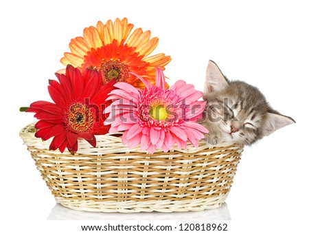 the small kitten sleeps in a basket with flowers. isolated on white background