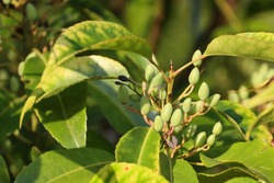 The small-leafed oil-fruit tree, Elaeocarpus mastersii grows up to 20 m tall. It has leaves which turn red when withering. Small ovoid green fruits which turn bluish-green when mature.