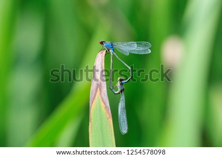The small red-eyed damselfly (Erythromma viridulum) is a member of the damselfly family Coenagrionidae. Dragonfly, male and female during the breeding season.