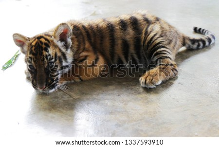 The small tiger is sleeping, playing and taking pictures