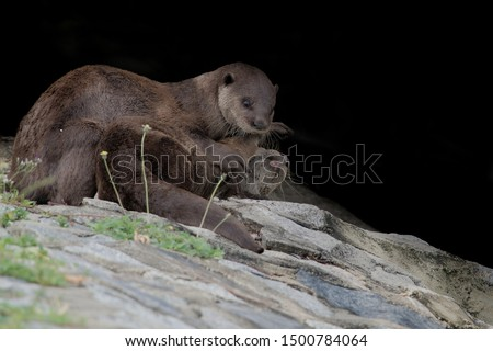 The smooth-coated otter Lutrogale perspicillata is an otter species occurring in most of the Indian subcontinent and Southeast Asia, It occurs in areas where fresh water is plentiful — wetlands.