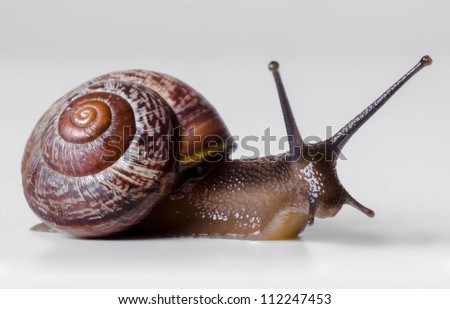The snail close-up, macro. On gray background.