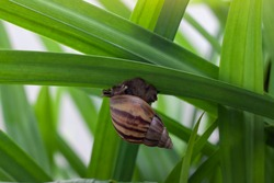 The snail is slowly climbing on the pandan leaf with sunlight in the garden.