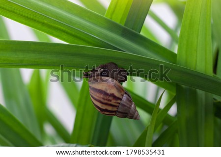Photo of  The snail is slowly climbing on the pandan leaf with sunlight in the garden.