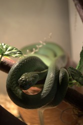 The snake lives in a terrarium at home looks nervously into the frame