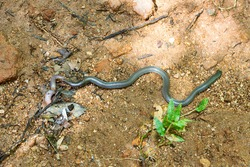 The snake swallows a large earthworm. Shield-tailed snakes (Uropeltidae) possibly Rhinophis philippinus, endemic.. Tropical rainforest (cloud forest) in Sri Lanka