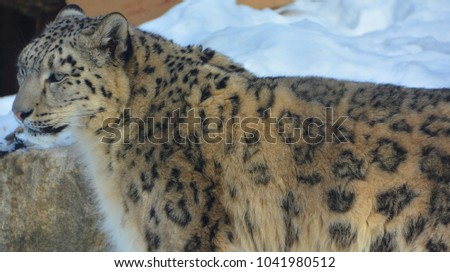 Stock Photo The snow leopard is a large cat native to the mountain ranges of Central and South Asia. It is listed as endangered on the IUCN Red List of Threatened Species
