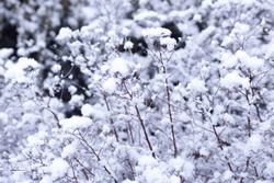 the snow lies on a bush in the winter