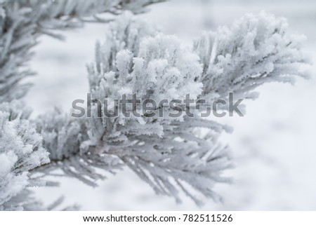 the snow on the needles of the fir trees close up #782511526