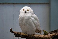 The snowy owl (Bubo scandiacus) being curious.