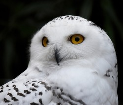 The snowy owl (Bubo scandiacus) is a large, white owl of the true owl family.