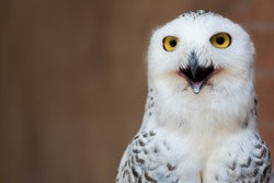 The snowy owl (Bubo scandiacus) is a large, white owl of the typical owl family.