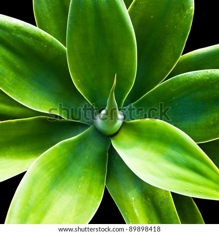 The soft and flowing leaves of a blooming agave plant.
