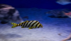 The soft focus of cartoon  Yellow stripe fish in motion of speedy diving in the deep blue sea background. Taken in soft blurred focus.