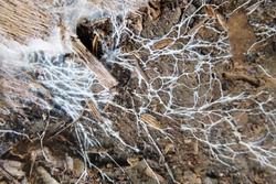 The soil is white fungus. Abstract background